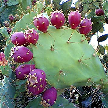 Image result for Hecker Pass cactus pear