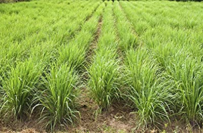 "Clovers Garden 2 Large Lemongrass Plants LIVE - Mosquito Repellent Plants 4""- 7"" tall in 3.5"" Pots - Non-GMO Edible Medicinal Herb Cymbopogon Citratus"