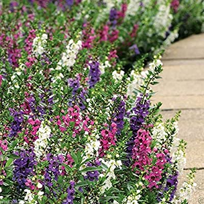 Angelonia 10 Pelleted Seeds,SERENITA MIX ,Raspberry,purple lavender pink, white.
