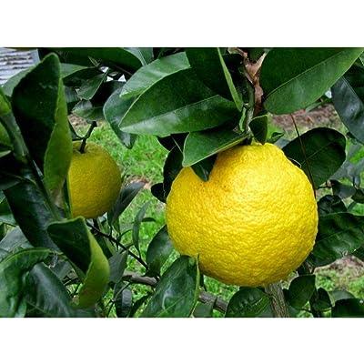 10 Nansho Diadia Sour Orange Seeds #RDR02 : Garden & Outdoor