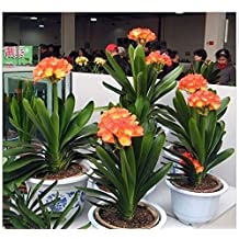 The Best Seller 100 Particle/bag Clivia Flower Or Named Kaffir Lily 100% Real Seeds Diy Garden Evergreen Bonsai Pot Flower
