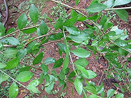 M Tech Gardens Rare Henna Tree Lawsonia Inermis Mailanchi Mehadni