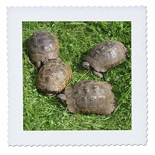 3drose-qs-46677-5-testudo-iberia-animals-ibera-greek-tortoise-land-turtles-reptiles-testudo-ibera-to