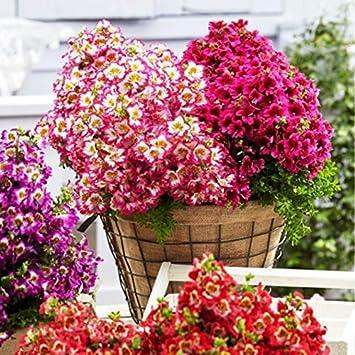 Macetas Ventanas Interiores Macetas Colgantes QHYDZ Garden-50//100PCS Raras Semillas Flores Schizanthus Pinnatus Orqu/ídeas para Jardin