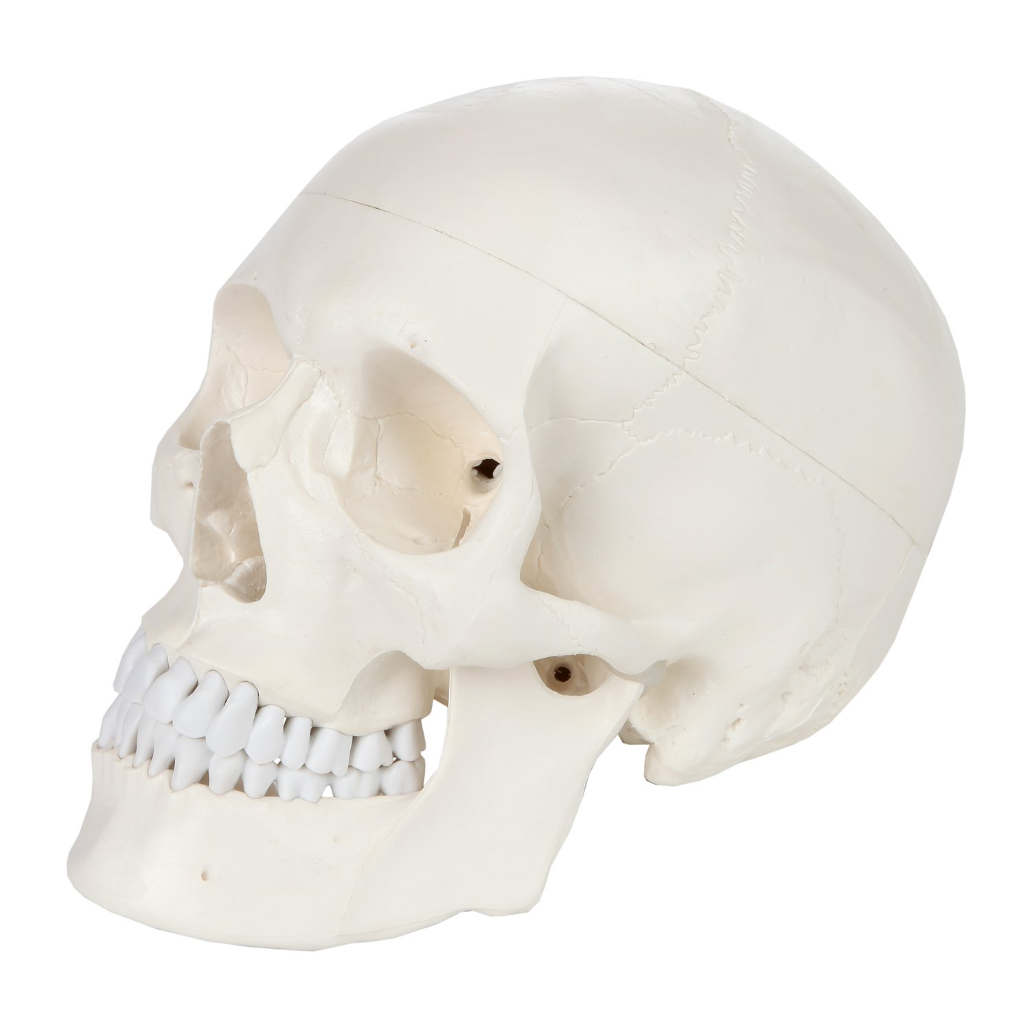 Axis Scientific 3 Part Human Skull Anatomy Model Life Size Anatomy