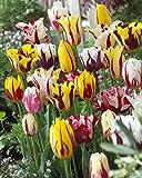Rembrandt Tulip Mixture- 45 Perennial Tulip Bulbs