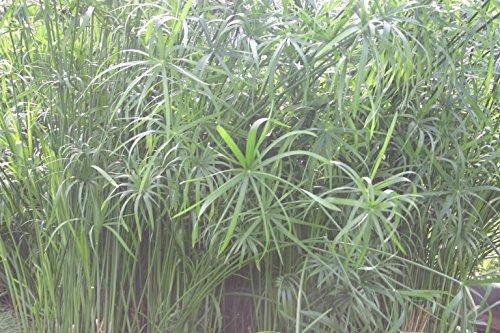 - POND PLANT, UMBRELLA PALM, MEDIUM