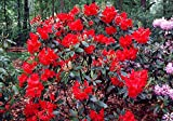 Vulcan's Flame Rhododendron - Fire Red Blooms - 2.5' Pot