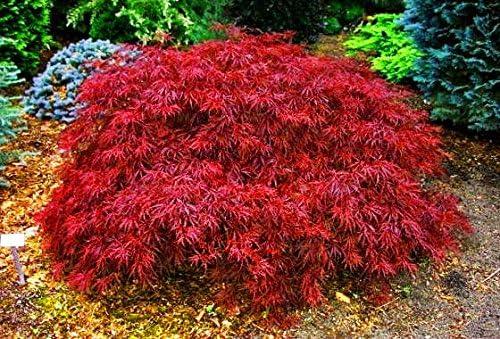 Amazon Com Red Dragon Japanese Maple 3 Gal 2 5 3 Feet Garden