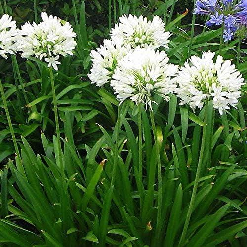 3 Bulbi rizoma di Agapanthus africanus /'Albus/' AGAPANTO BIANCO Radice rizomatosa