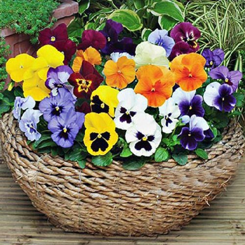50-diy-butterfly-pansy-giant-flower-seeds-mix