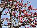 Nianyan 12 RED SILK COTTON TREE Bombax Ceiba Kapok Tropical Flower Seeds