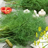 Organic Dill Seed - Dukat Variety Non GMO (50+ Seeds)
