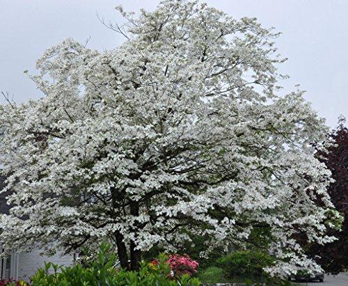 White Flowering Dogwood 10 seeds. trees, -