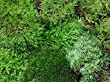 Tin Roof Treasure Live Terrarium Moss Assortment