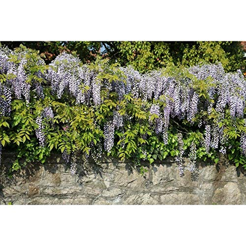 10 Wisteria Plants (Wisteria sinensis)-1 to 2 feet Tall #EW01 by owzoneflower (Image #1)