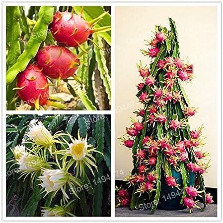 200 Pcs Rare Red Dragon Fruit Seeds Pitaya Organic Sweet Dragon Beautiful NEW S