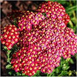 Package of 500 Seeds, Red Yarrow (Achillea millefolium rubra) Open Pollinated Seeds by Seed Needs