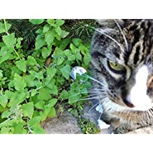 HERB SEEDS: CATNIP 50 Seeds - Yummy Treat 4 Kitty! Easy To Grow, High Germination