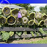 Mongoli Semi di girasole gigante, 20 semi, cimelio commestibile girasoli ornamentali E3564