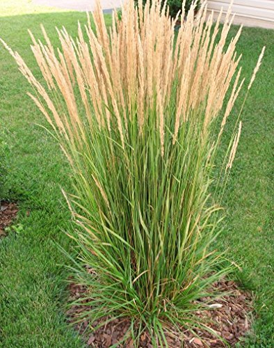 3 Karl Foerster Feather Grass in 4 Inch Containers (3 Pots of Plants)