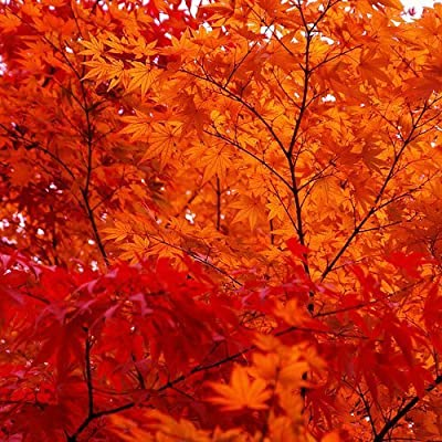 25 SCARLET / CAROLINA RED MAPLE TREE Acer Rubrum Seeds by Seedville