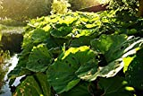 Home Comforts Laminated Poster Petasites Hybridus Butterbur Plant Coughwort Poster Print 24 x 36