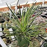 Agave Geminiflora Cactus Cacti Real Succulent Plant