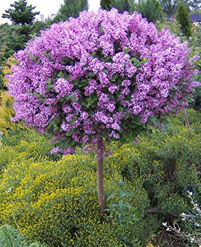 Korean Lilac Tree - 4-5 ft. by Brighter Blooms (Image #1)