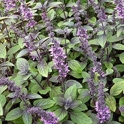 Blue Spice Basil Seeds (Ocimum americanum) 100+ Rare Medicinal Herb Seeds : Garden & Outdoor