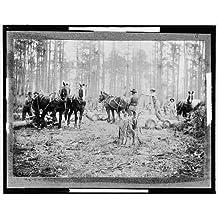 Photo: Skidding pine logs,Keystone Lumber Company,industry,Detroit Publishing Co,1901