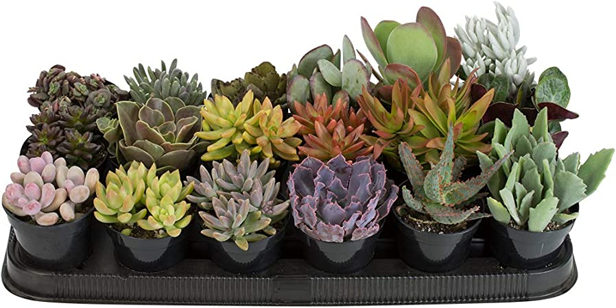 Amazon Com Altman Plants Assorted Live Plants Bulk Large