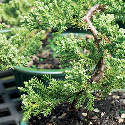 Brussel's Bonsai Live Green Mound Juniper Outdoor Bonsai Tree - 3 Years Old; 4'' to 6'' Tall with Decorative Container - Not Sold in California, by Brussel's Bonsai (Image #1)