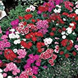40+ DIANTHUS BARBATUS WEE WILLIE FLOWER SEEDS MIX / PERENNIAL SWEET WILLIAM