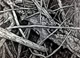 ''Mangrove V'' Drawing by Dawn Rosendahl ~Original Pencil Drawing