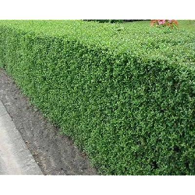 50 Common Privet Seeds, Ligustrum Vulgare : Garden & Outdoor