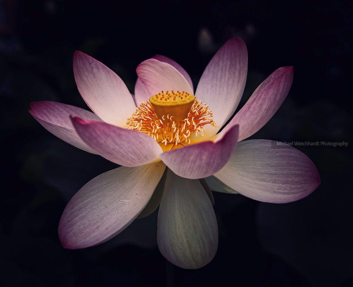 Amazon Lotus Flower Print Dark Close Up Professional