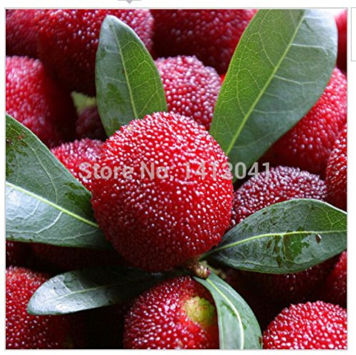 - Fd800 Sweet Red Bayberry Seeds, Myrica Gale Fruit Seeds, 90%+germination ~10pcs~