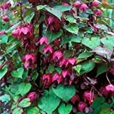 Purple Bell Vine 10 Seeds Garden Seeds 2u