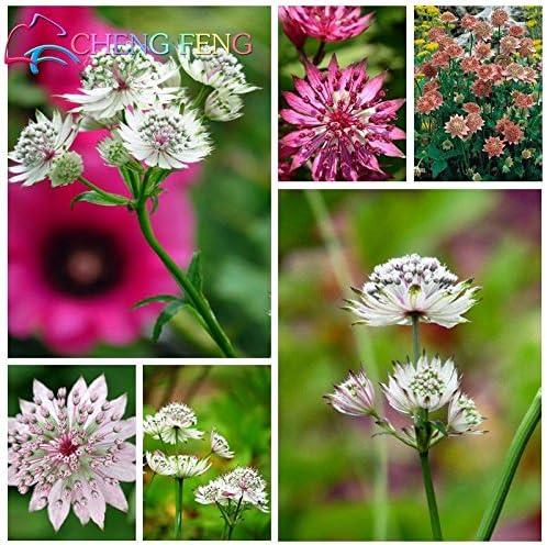 En oferta! Semillas Astrantia rara flor de 100pcs (grandes Masterwort) Semillas de flores en maceta de Bonsai planta para el jardín de DIY: Amazon.es: Jardín