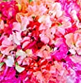Annual Hawaiian Blend Sweet Pea Seeds UPC 600188198270 + 1 Free Plant Marker