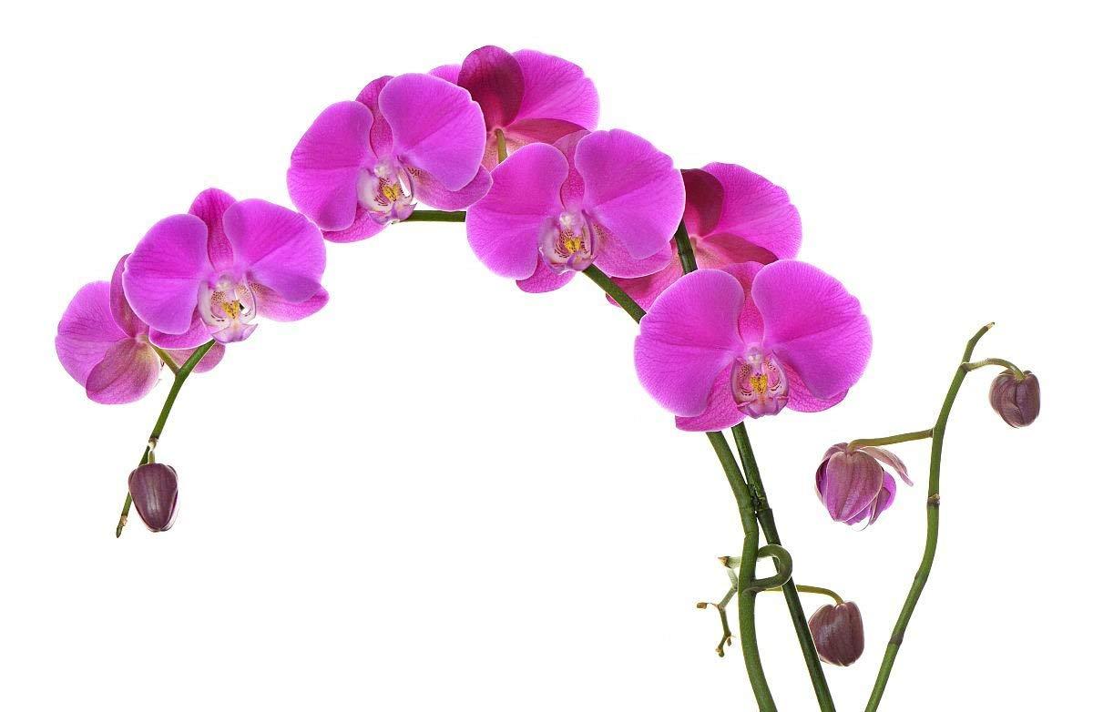 de fleurs et de papillons dorchid/ées Phalaenopsis Lot de 20 graines de bonsa/ï pour orchid/ées de jardin