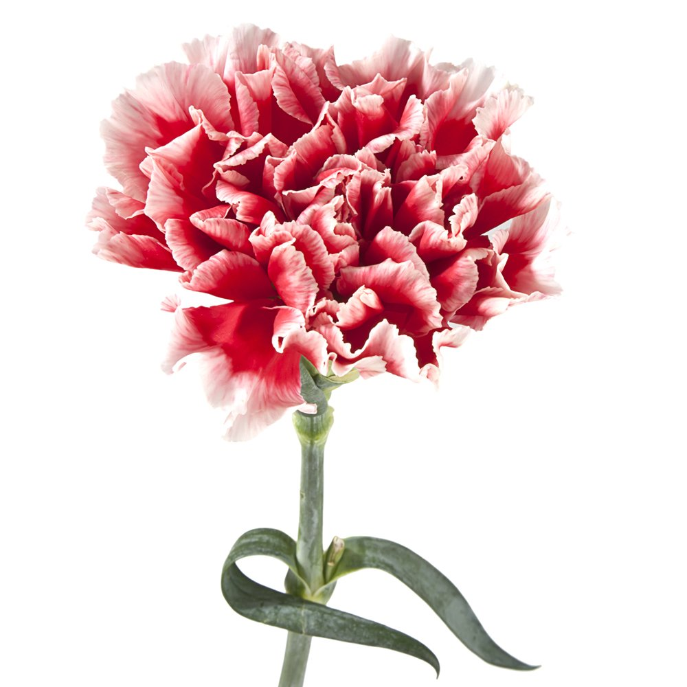 Amazon.com : Wholesale Carnations (150 Bicolor Red) : Fresh Cut ...