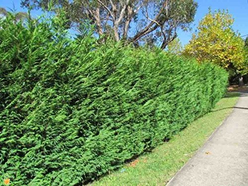 Leyland Cypress Tree 4-5ft (Cupressocyparis leylandii) Potted Plant Fast Growing Evergreen Privacy Screen