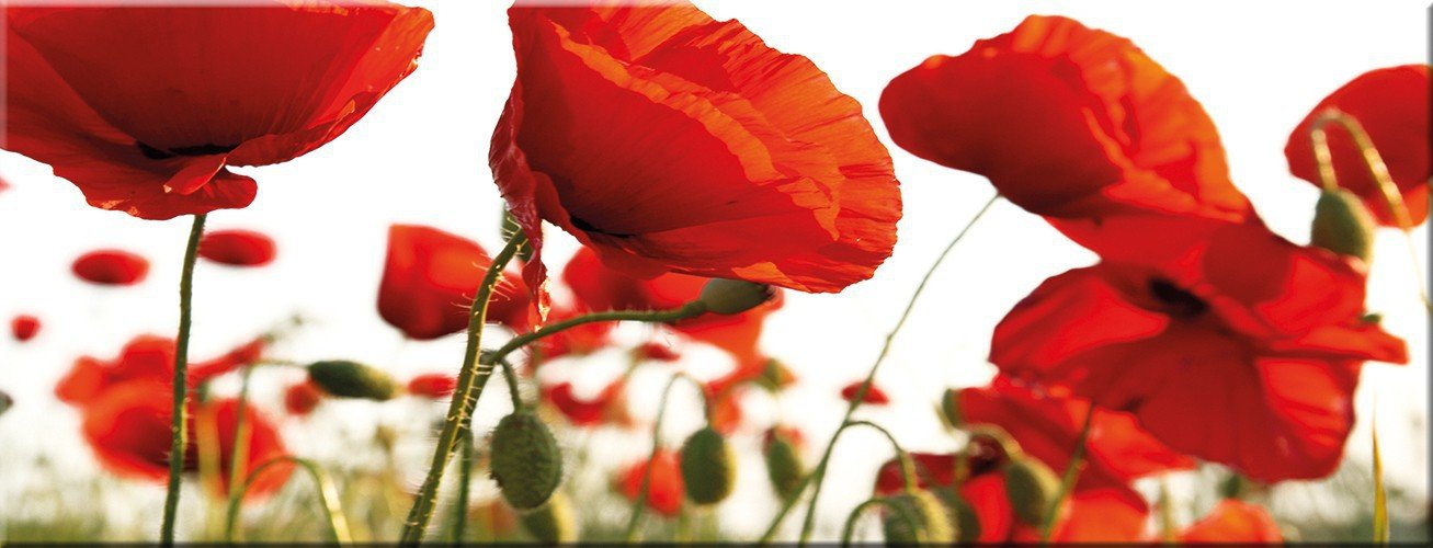 Artissimo, Glasbild, 80x30cm, AG1966A, ROT Poppy, rote Mohn-Blumen, Bild aus Glas, Moderne Wanddekoration aus Glas, Wandbild Wohnzimmer modern