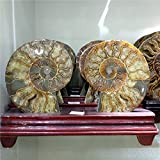 LIXUAN Pair Ammonite Fossil Conch Slice Fossil Mineral specimens with Stand