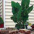 ELEPHANT EAR Live Plant Alocasia Calidora Persian Palm caladora, calodora