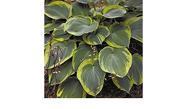 """hosta EARTH ANGEL large award winning healthy 2.5/"""" pot = 1 Live Potted Plant"""