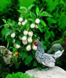 "Ornamental EASTER EGG PLANT ""Solanum Ovigerum"" 30+Annual Seeds"