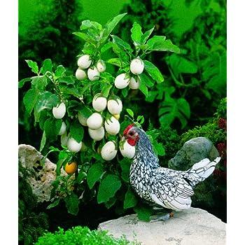 Easter Egg Plant Solanum Ovigerum 10 Seeds